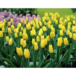 Тюльпан Yokohama - пакет из 5 штук - Tulipa Yokohama