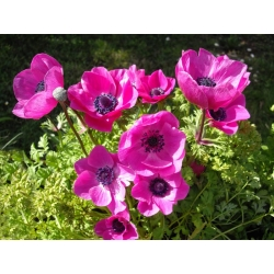 Szellőrózsa - Sylphide - csomag 8 darab - Anemone