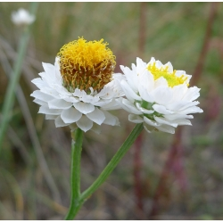 Winged vĩnh cửu (Ammobium không cánh) - 4200 hạt - Ammobium alatum