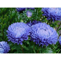 Blue peony aster - 500 seeds