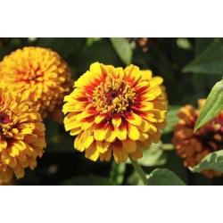 """Narrowleaf zinnia """"Permaidani Parsi"""" - campuran pelbagai - 300 biji - Zinnia angustifolia - benih"""