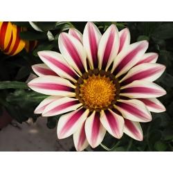 "Treasure flower ""Big Kiss F2 valge leek""; gazania - Gazania x hybrida - seemned"