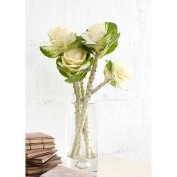 Dekoratiivkapsas - Sunrise - segu - Brassica oleracea var. acephala - seemned