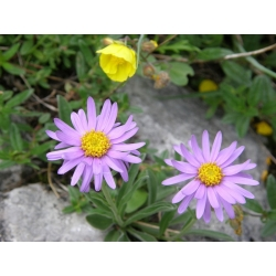 Flower selection - Polish Tatra blooms