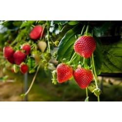 "Strawberry ""Rainbow treasure F1"" - 5 seeds"