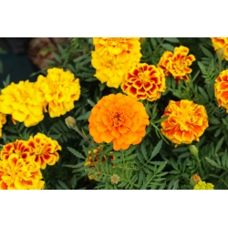 """Home Garden - French marigold """"Bonanza Series"""" - for indoor and balcony cultivation - 175 seeds"""