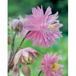 Aquilegia ، كولومبين ، Granny's Bonnet Pink Barlow - لمبة / درنة / جذر - Aquilegia vulgaris