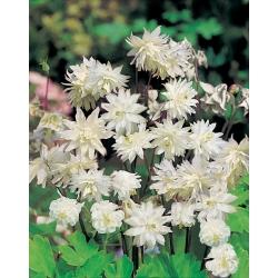 Aquilegia ، كولومبين ، Granny's Bonnet White Barlow - لمبة / درنة / جذر - Aquilegia vulgaris