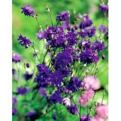 Aquilegia ، كولومبين ، الجدة بونيت بلو بارلو - لمبة / درنة / جذر - Aquilegia vulgaris