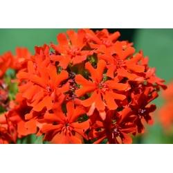Máltai kereszt, Burning love, Dusky lazac, Bristol virága, Jeruzsálem kereszt - 460 mag - Lychnis chalcedonica - magok