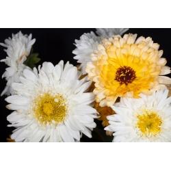 """Home Garden - Marigold Pot """"Bon Bon"""" - para cultivo en interiores y balcones - 240 semillas - Calendula officinalis"""