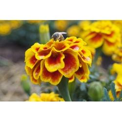 Бархатцы мелкоцветные - Queen Sophia - 525 семена - Tagetes patula L.