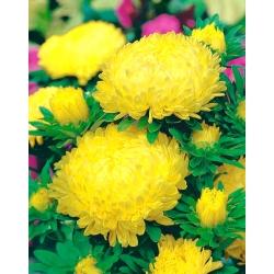 Yellow peony aster - 500 seeds