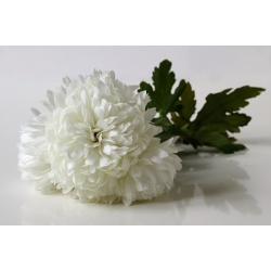 "Aster ""Milady White"" - 500 biji - Callistephus chinensis  - benih"