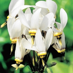 Dodecatheon meadia - balts
