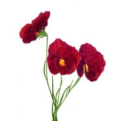 Pansy vườn hoa lớn màu đỏ - 240 hạt - Viola x wittrockiana