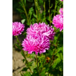 """Pink-white chinese aster """"Contraster"""" - 250 seeds"""