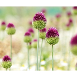Allium Sphaerocephalon - 20 لمبات
