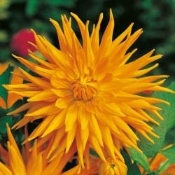 Dahlia Cactus Orange - bebawang / umbi / akar