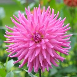 Dahlia Cactus Pink - čebulica / gomolj / korenina