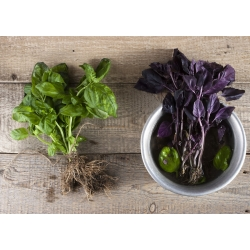 """Home Garden - Basil variety mix - for indoor and balcony cultivation; Great basil, Saint-Joseph""""s-wort - 325 seeds"""
