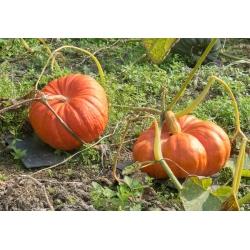 "Giant squash ""Rouge vif d'Etampes"" - with large, flattened, ribbed fruit - 9 seeds"
