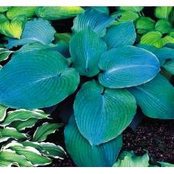 Hosta, Plantain Lily Blue Angel