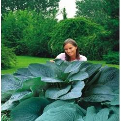 Hosta, Plantain Lily Empress Wu