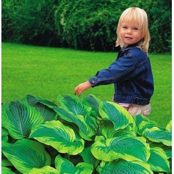 Hosta, Plantain Lily Satisfaction