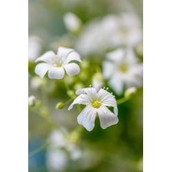 Белое однолетнее дыхание ребенка, эффектное детское дыхание - 2800 семян - Gypsophila elegans - семена