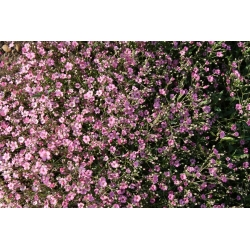 Pink annual baby's breath, showy baby's breath - 1400 seeds