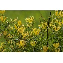 Gloriosa, Ognjena lilija, Plamena Lily Lutea - čebulica / gomolj / koren - Gloriosa superba