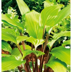Hosta, Plantain Lily Gooseberry Sundea