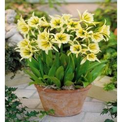 Ismene, Peruvian Daffodil Sulphur Queen