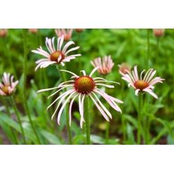 Ehinacea, Coneflower Pallida - čebulica / gomolj / koren - Echinacea pallida