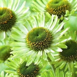 Echinacea, Coneflower Green Jewel - čebulica / gomolj / koren - Echinacea purpurea