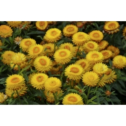 الأبدية الذهبية ، سترو فلاور - 1250 بذور - Xerochrysum bracteatum - ابذرة