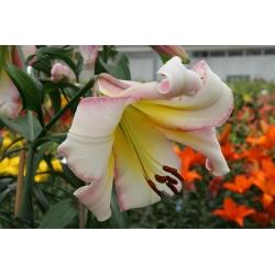Cây Lily Lilium Moon Moon - củ / củ / rễ - Lilium Beijing Moon