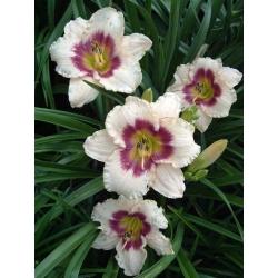 Hemerocallis, kẹo việt quất Daylily - củ / củ / rễ - Hemerocallis Blueberry Candy