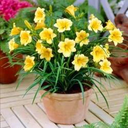Hemerocallis, Daylily Stella D'oro - củ / củ / rễ - Hemerocallis Stella D'oro