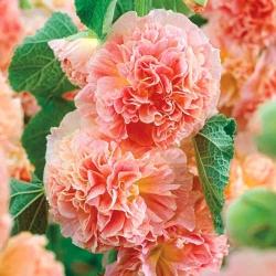 Alcea, Hollyhocks Peaches and Dreams - củ / củ / rễ - Alcea