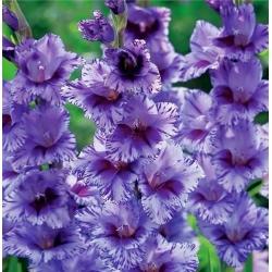 Gladiolas Passos - XXL - 5 gab. Iepakojums - Gladiolus