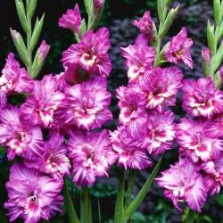 גלדיולוס טנגו - 5 בצל - Gladiolus