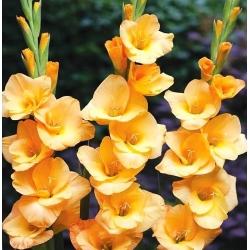 גלדיולוס ודטה - 5 בצל - Gladiolus