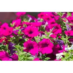 Petuunia Surfinia - Rubina - purpurne - 80 seemned - Petunia x hybrida pendula