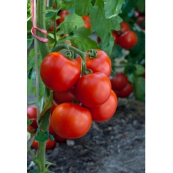 """Tomato """"Jupiter"""" - for cultivation under covers - premium variety seeds for everyone - 30 seeds"""