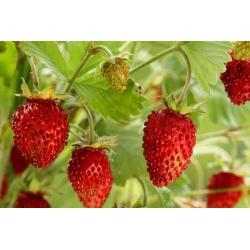Metsmaasikas - Rujana - 640 seemned - Fragaria vesca
