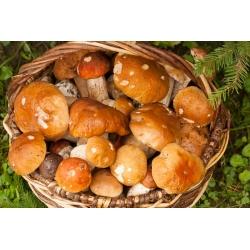 Mycorrhizal vakcina (mycorrhiza) - porcini - papucs jack - öböl bolete - ehető erdei gombák