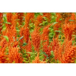 """Amaranth """"Magic Cascade"""" - a multi-coloured selection of varieties - 700 seeds"""