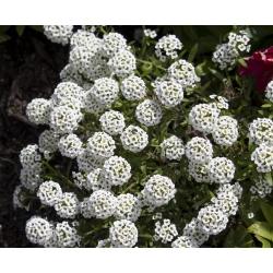 Rand - kivikilbik - valge - 1750 seemned - Lobularia maritima